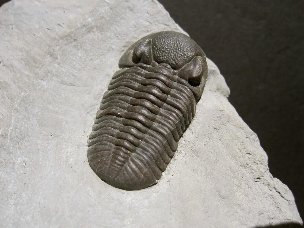Phacops Rana Milleri Trilobite
