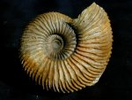 Gargantiana Ammonite from  France