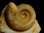 Stephanoceras French Jurassic Ammonite